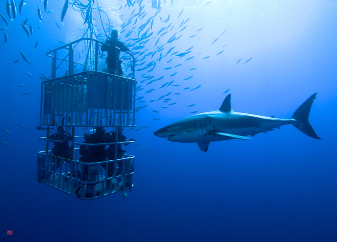Shark-Cage Diving Trip